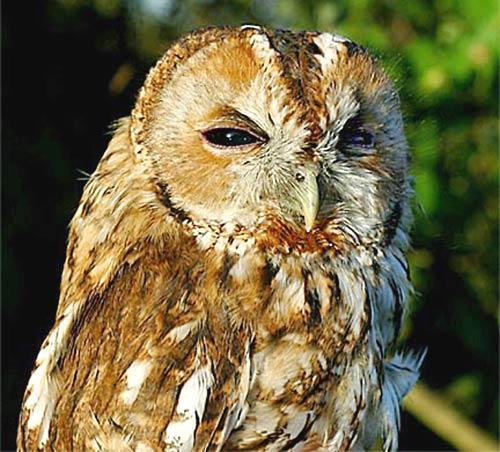 tawny_owl.jpg